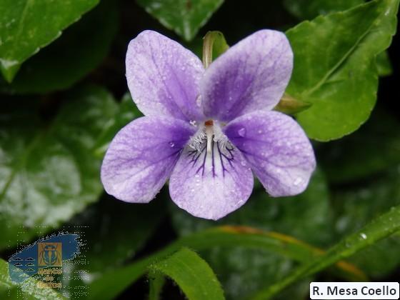 Viola_anagae